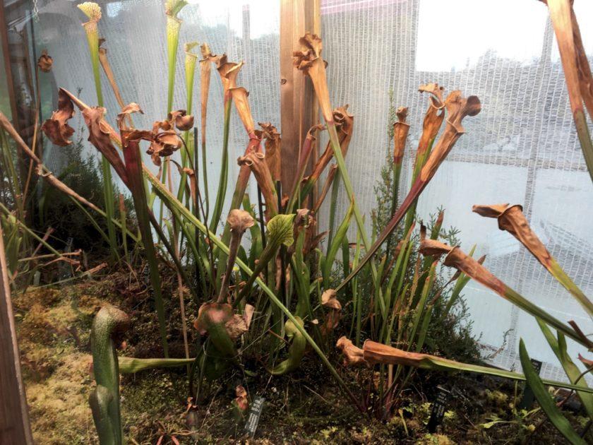 Photo of Carnivorous Plants in the University of Copenhagen Botanical Garden