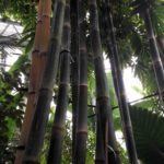 Bamboo growing iotanic Garden Glass House